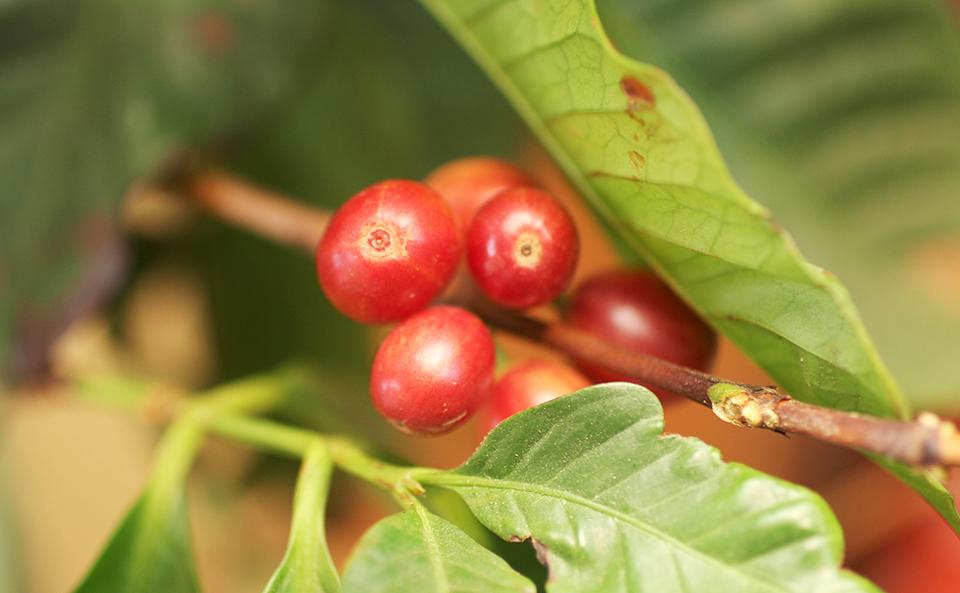 コーヒーの実を収穫しました。