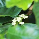 白くてきれいなコーヒーの花