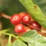 コーヒーの木の実が熟してきました。